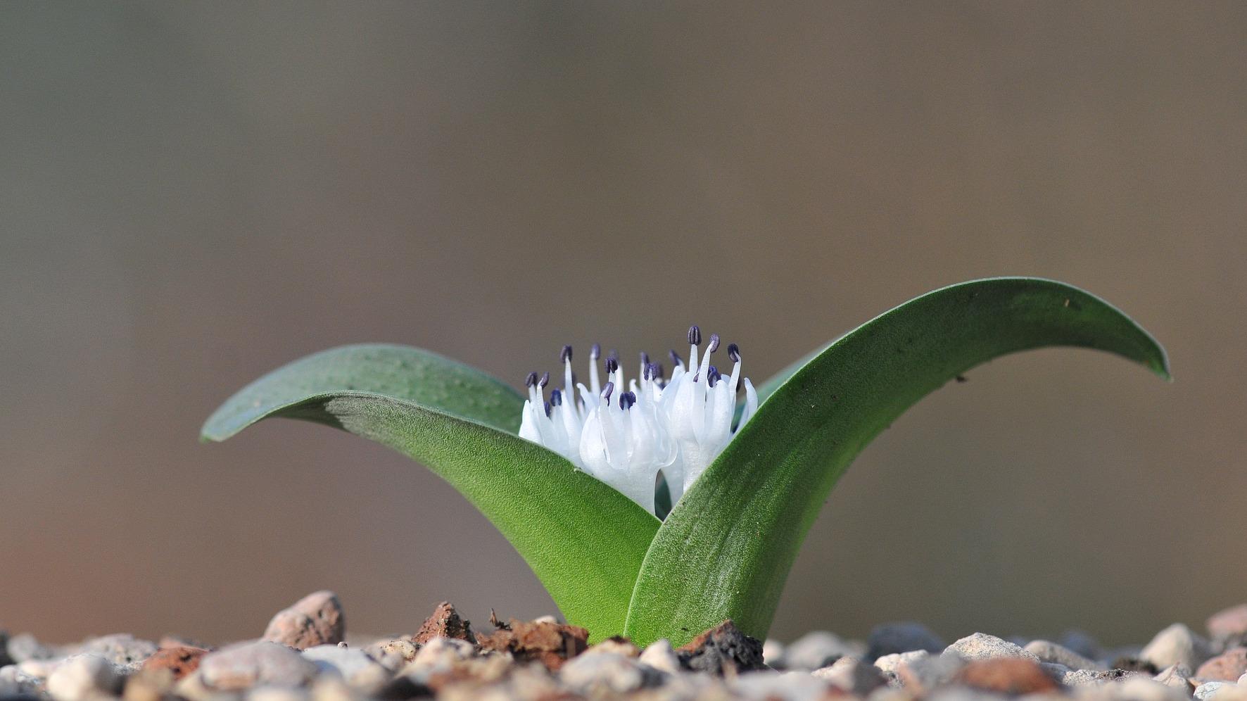 Massonia citrina 8 seeds
